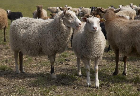 bild på får